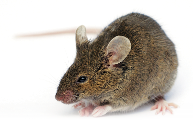 The House Mouse Has Been Dubbed By Some Scientists As Second Most Successful Mammal On Earth It Also Represents Important Rodent Pest In